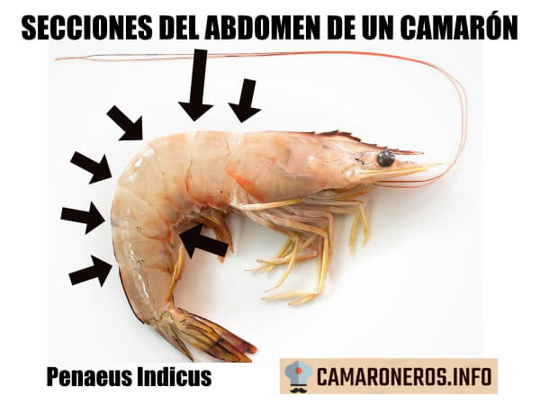 sección abdominal de un camarón Penaeus Indicus o langostino blanco